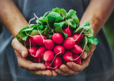 Freshly picked radishes