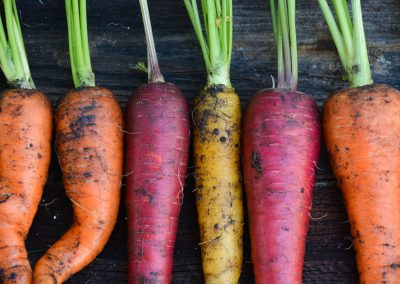 Freshly harvested organic rainbow carrots
